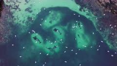 Orca feeding behavior in Norway, killer loop, carousel feeding