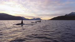 Orca pod swims and dives synchronous at sunset