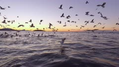 Orca pod hunting at sunset, birds get fish