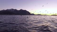 Orca pod hunting at sunset, spy hopping