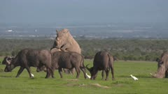 White rhino copulation in grassland, buffalos surrounding them