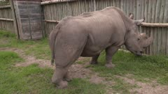 The last northern white rhino male, in conservatory, handheld wide shot