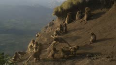 Gelada baboons fight on a cliff, slow motion, 96fps