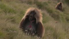 Gelada baboon male close up, eating gras, showing teeth, 60 fps
