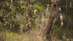 Klipspringer hiding behind a bush, simian mountains
