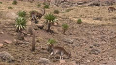 Group of walia ibex on rocky slope eating lobelias, slow motion 60 fps