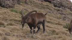 Group of walia ibex, male coming towards camera