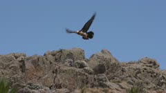 Bearded vulture starts flying from rock, slow motion 60fps