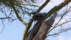 Black kite on a tree, is attacked by other birds, slow motion 60 fps