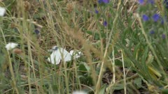 2 cabbage butterflies mating in a meadow, medium shot slow motion 180fps