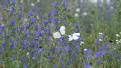 Cabbage butterflies and bumblebees collect pollen at vipers bugloss,  medium close shot slow motion 180fps