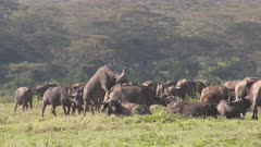 African buffalo herd with a mating attempt