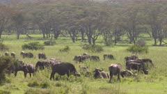 African buffalo herd on a green plain