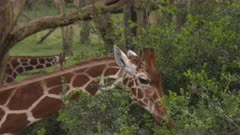 Giraffe eating from green bushes, close up