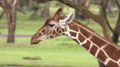 Giraffe walking in acacia forest, slow motion close up