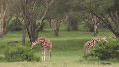 Giraffes eating from green bushes in acacia forest, medium wide