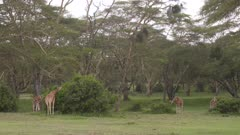 Giraffes eating from green bushes in acacia forest, wide shot
