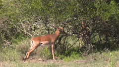 Impala male trapped with the horns in a bush and frees himself, medium