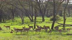 Impala herd in lush green acacia forest, wide shot