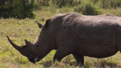 Black rhino with flies on ist back walking in green grass, slow motion