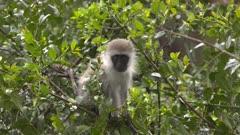 Vervet monky baby eating in green bush
