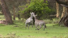 Zebras playing / fighting with each other, slow motion