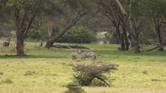 Zebras playing / fighting with each other, slow motion wide shot