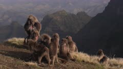 Gelada baboon group at cliff, mating