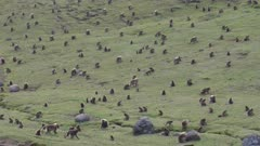 Gelada baboon large herd in green valley, bachelors running