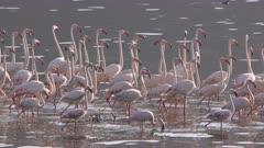 Flock of flamingos in african lake, slow motion locked shot