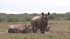 Group of black rhinos on dry plain, slow motion 50fps