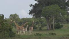 Group of giraffes walking in green forest, long locked off shot