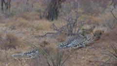 Group of cheetahs resting in late afternoon light, long locked shot