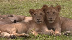 Two young lions cuddling, long locked shot