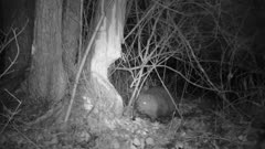 Eurasian beaver chewing on willow tree at night, night vision infrared shot