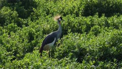 Crowned crane in green swamp, medium close shot