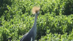 Crowned crane cries out close, with audio