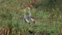 Crowned cranes courtship dance, medium shot