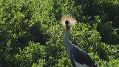 Crowned crane in green swamp, close shot