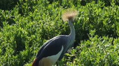 Crowned crane cleaning feathers green swamp, close shot