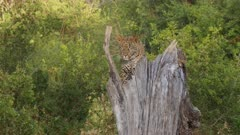 Leopard climbs on tree stump and down again, long scene