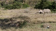 Rhinos are chasing away a group of resting lions, medium shot