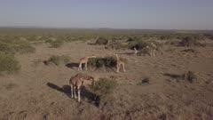 Aerial view of giraffe herd in the morning light