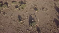 Aerial view of giraffe herd in the morning light, directly above long shadows