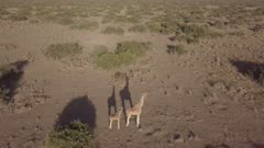 Aerial view of giraffe with juvenile in the morning light, sink and tilt
