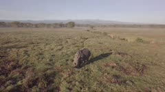 Aerial view of single rhino in the morning light, circular move