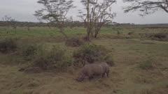 Close wide shot of single rhino in bushland