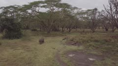 Aerial view of single white rhino in acacia forest, lift and tilt