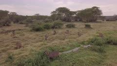 Aerial view of herd of waterbucks at creek, circular move