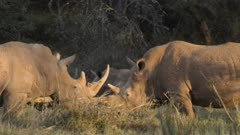 Group of rhinos meeting in green forest, medium close shot
